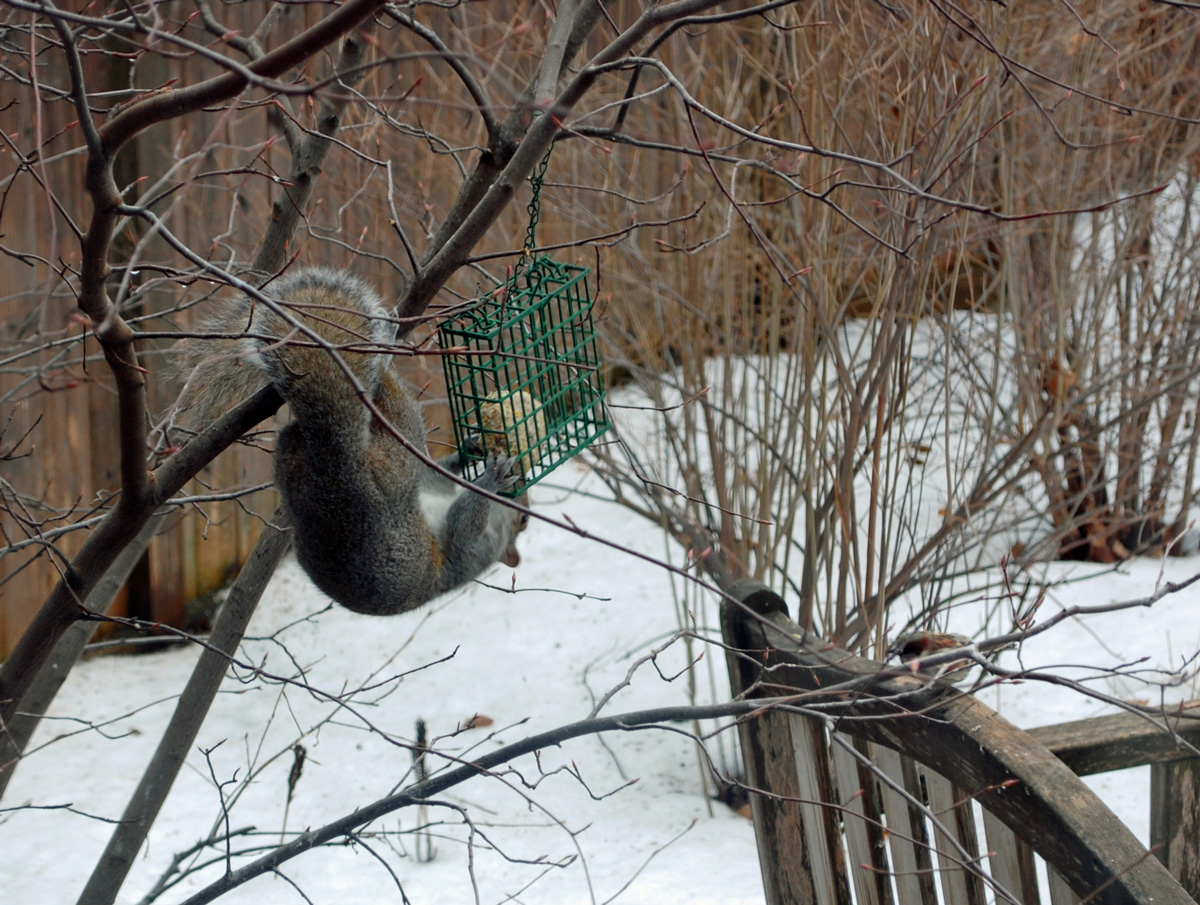 The Early Squirrel Gets the Suet