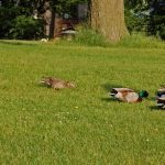 Mallards in the Grass